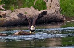 Riverbend BG River flight #2 07-31-2016 (jonathan.pratt14) Tags: haliaeetusleucocephalus americanbaldeagle adultbaldeagle baldeagle nikond3 sigma150600mmf563 raptor washingtonstate wildlifephotography riverbendeagles birdofprey