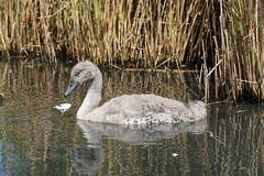 2016.07.13 Abbotsbury (345) (Kotatsu Neko 808) Tags: uk england swan cygnet dorset abbotsbury swannery abbotsburyswannery