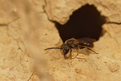 Lasioglossum species, male, Ploegsteert (henk.wallays) Tags:
