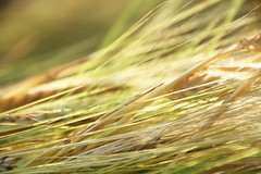 golden threads (Rising Damp) Tags: wheat golden green threads whiskers nature plant light
