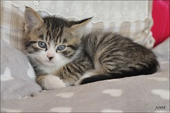 So cute...... (sophie.lamidiaux) Tags: chat cat animaux douceur chaton tendresse