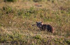 Prdateur au petit matin (Deathscythe42) Tags: tamronsp150600vcusd loire animalplanet nature eos70d rhnealpes chat canon frapna cats ecopleduforez