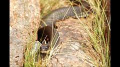 Snok (evisdotter) Tags: snok grasssnake natrixnatrix nature picssooc snake orm video summer jrs land 21sec