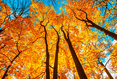 autunm trees (lisame0511) Tags: leaves autumn tree forest fall nature scene seasons color outdoors rural colored background multi yellow woods gold landscape orange scenics blue branch foliage day lush sky park russianfederation