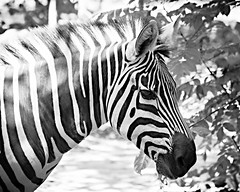 Zebra (Merrillie) Tags: d5500 animals fauna nikon photography singapore singaporezoo wildlife zebra zoo nature stripes blackandwhite monochrome