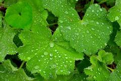Ladysmantle and rain drops May 22 2014 (crps_1964) Tags: spring raindrops ladysmantle nikond4