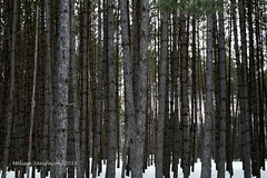Infinity (Melissa Sansfacon) Tags: trees winter snow tree forest hiver arbres bark neige arbre fort tronc
