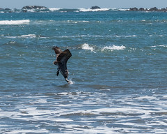 P1010694.jpg Brown Pelican (ChanHawkins) Tags: bird beach costarica pelican brownpelican samara
