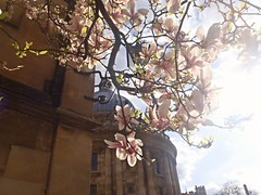Radcliffe Camera peeking through the blossom (rjmiller1807) Tags: pink flowers tree town blossom library oxford april radcliffecamera oxfordshire radcliffesquare 2015