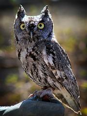 Western Screech Owl (arbyreed) Tags: bird own hoglezoo westernscreechowl megascopskennicottii arbyreed saltlakecountyutah captiveowl