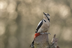 Grote Bonte Specht (Great Spotted Woodpecker) 001291 (BZD1) Tags: bird nature birds animal vogels natuur aves bos dieren dier animalia vogel dendrocopusmajor greatspottedwoodpecker veren vleugels jaarvogel chordata spechten piciformes grotebontespecht dendrocopos picidae dendrocopus picinae standvogel chordadieren echtespechten talrijkebroedvogel kalmthoutbelgie onregelmatigedoortrekker biotoopbos