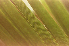 Drawing a Fine Line (Georgie_grrl) Tags: flowers toronto ontario cheery greenhouse pentaxk1000 macros upcloseandpersonal expiredfilm foundfilm atouchofspring torontophotowalks macroteleconverterlens allangardenswalk topwblib foundinacamerainavintagestoreonossington