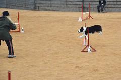 agility252 (jaimekay16) Tags: dog training austin agility k9 xpress nadac k9x