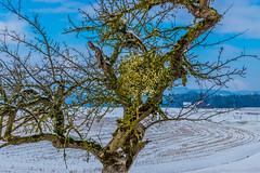 FDR-DSC04808.jpg (dironzafrancesco) Tags: schnee snow tree nature landscape schweiz natur landschaft baum sanktgallen zberwangen