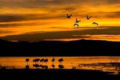 Monte Vista Crane Festival 2015 (Robin-Wilson) Tags: sunrise bravo san colorado wildlife valley luis migration gitzo sandhillcranes wildliferefuge nikon300mmf28 nikond800 montevistacranefestival