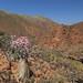 Adenium Socotranum, Socotra, Homhil Plateau, Yemen