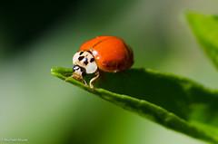 Ladybug (michael.mu) Tags: macro nature insect nikon louisiana neworleans tokina ladybug tokina100mmf28atxprod tokinaaf100mmf28macro d7000
