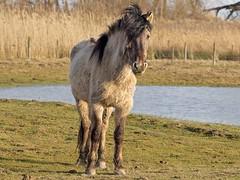 P2060264 (Dick DB) Tags: horses horse holland animal olympus denbosch omd paarden em1 konik omdem1 diezemonde dickbesse