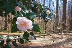 USA - North Carolina (Hercules.) Tags: trees camelias mar nc shadows fences fayetteville flowersplants 2015 5photosaday capefearbotanicalgarden