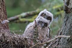 Great-horned owl (Bubo virginianus) (Tony Varela Photography) Tags: babyowl bubovirginianus greathornedowl owlnest photographertonyvarela