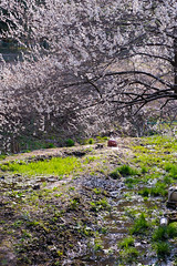 DS7_6395.jpg (d3_plus) Tags: sky plant flower macro nature japan walking spring nikon scenery bokeh hiking fine daily bloom  60mm nikkor  wildflower  kanagawa   dailyphoto    thesedays erythronium sagamihara   fineday  dogtoothviolet    60mmf28dmicro  micronikkor 60mmf28micro shiroyama   erythroniumjaponicum    d700  afmicronikkor60mmf28 nikond700 nikonafmicronikkor60mmf28d aiafmicronikkor60mmf28d  dogtoothvioletvillage