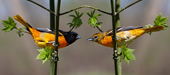 'Til There Was You (s.w.Lepak) Tags: love nature birds wisconsin photoshop digitalmanipulation baltimoreoriole courtship backyardbirding