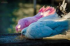 Blue & Pink Doves