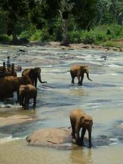 Five elephants in the Maha Oya (Dunnock_D) Tags: trees elephant water grass river pier rocks elephants srilanka pinnewela pinnawala mayaoya