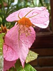 Dalechampia spathulata 1 (heinvanwinkel) Tags: leiden nederland hortus botanicus apr euphorbiaceae 2015 magnoliidae euphorbiales spathulata spermatophyta acalyphoideae dalechampia euphyllophyta rosanae bloemvandedag plukenetiinae dalechampieae
