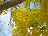 Konna Flower (Anulal's Photos) Tags: flowers vishu goldenshower konnappoo amaltas raela bahava flowerflower vishukani indianlaburnum kanikonna kanikkonna ratchaphruek keralakerala bendralathi dhanbaher konrai garmalo kakke sunari goldenshowercassia sonalu kaniflower aragvadha konnaflower konaflower vishukonna bandarlathi kritamala chaturangula suvarnaka vishupoovu karnikaram bandarlauri dhanbohar girimaloah anikkonna ophirpponnu vishupoo kanipoov vishuflower konakani flowervishuvishu
