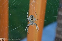 Photo of Spider in the web.