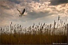 FLYING HOME (Des Hawley. Over 1.7 million views !!) Tags: uk sky nature beautiful beauty field birds animals reeds landscape evening flying cool nikon cheshire outdoor gorgeous andromeda naturereserve stunning serene cloudysky autofocus d300 rspb coth theacademy burtonmere platinumpeaceaward coth5 deshawley cothgoldgallery thegalaxyhalloffame thegalaxystars