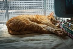 Lazy cat (kivx) Tags: sleeping cute cat kitten lazy a7 α7 ilce7 sel1635z