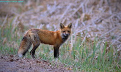 Red Fox Redux (Direwolf131) Tags: red fox redux