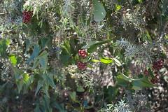 Macchia mediterranea (alceccanti) Tags: pisa duna livorno calambrone macchiamediterranea minoltaaf28mmf28 sonysti sonyslta58