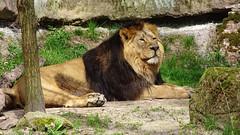 Lwe / Lion (Doris & Michael S.) Tags: animal zoo lion tiergarten nrnberg lwe raubkatze tiergartennrnberg lwe tiergartennrnberg