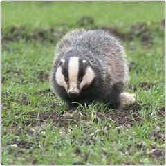 Daytime Badger (image 3 of 3) (Full Moon Images) Tags: nature animal mammal wildlife bcn reserve national badger trust daytime fen cambridgeshire woodwalton nnr greatfen greatfenproject