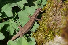 Mauereidechse (Podarcis muralis) (AchimOWL) Tags: nature deutschland tiere wildlife natur olympus makro nahaufnahme tier echse eidechse reptilien eidechsen gx7