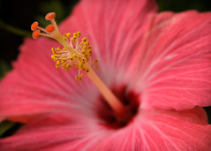 DSC_9145 (memania) Tags: pink flowers hibiscus pollen blooms boing radar houstonwildlife newblooms the100dayproject 100daysofnature