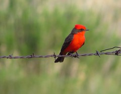 gorgeous vermilion flycatcher-big morongo canyon (2) (gskipperii) Tags: red color bird animal colorful pretty desert gorgeous highdesert mojave brightred flycatcher bigmorongocanyon