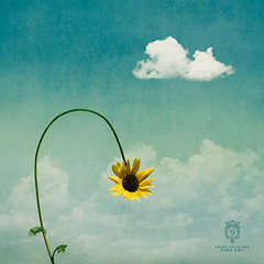 Expecting (Greg Collins Fine Art) Tags: blue sky cloud brown white green leaves rain yellow clouds leaf petals stem waiting sad outdoor surreal dry petal sunflowers sunflower stems wait drooping thirsty droop expect expecting expectation
