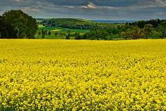 Rapeseed Rhapsody..... (kanaristm) Tags: flowers flower yellow germany europe stuttgart oil mustard baden canola rhapsody sindelfingen frying rapeseed badenwrttemberg holzgerlingen brassicanapus hightemperature