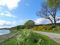 Road to Redcastle, Black Isle, May 2016 (allanmaciver) Tags: road trees black countryside track quiet colours view low spot single isle broom firth gorse redcastle beauly allanmaciver
