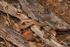 Burton's Legless Lizard (Lialis burtonis) basking (Brendan Schembri) Tags: reptile australia lizard queensland alpha burtons legless snakelizard burtonis lialis bimblebox brendanschembri