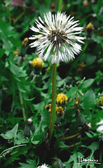 Dandelion (domjuniorlemma) Tags: wood morning flowers autumn trees winter red summer sun flower tree green fall nature colors grass leaves animals yellow forest photoshop canon garden insect photography photo leaf reflex spring branch violet insects photograph rays mothernature chlorophyll clorophilla