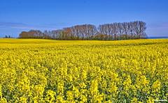 Rapslandschaft (garzer06) Tags: deutschland himmel insel gelb blau rügen raps baum vorpommern naturephotography mecklenburgvorpommern rapsfeld landscapephotography naturfotografie naturfoto grabow inselrügen landschaftsbild landschaftsfoto rapslandschaft landschaftsfofografie