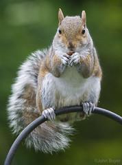 A squirrel in the garden (JohnB's photos) Tags: cute animal female grey rodent nikon squirrel wildlife posing 80400mm tc14 nikond610