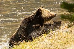 OK...OK...OK (ChicagoBob46) Tags: bear cub yellowstonenationalpark yellowstone cubs grizzly coy grizz grizzlybear
