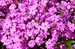 (Sandra Kirly Pictures) Tags: flowers spring outdoor poland krakow krakw botanicalgarden ogrdbotaniczny
