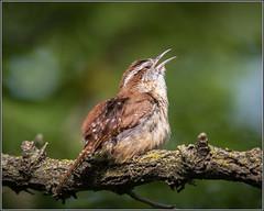 Carolina Wren (TDJenkins) Tags: bird newjersey wren songbird carolinawren palmyracove